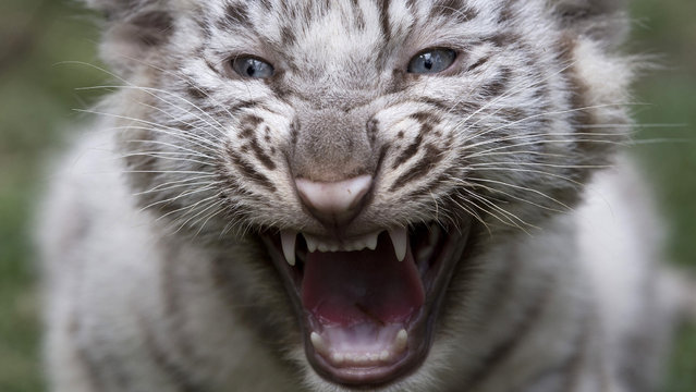 A white tiger cub growls at the Buenos Aires Zoo in Argentina, Thursday, March 21, 2013. The cub's mother, Cleo, a captive Bengal white tiger, gave birth to two females and two males on January 14. (Photo by Natacha Pisarenko/AP Photo)