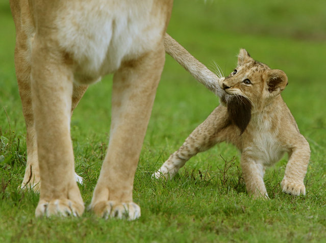One of the four cubs born at Blair Drummond Safari park near Stirling with mum Karis as they make their way out into their enclosure on Monday September 12, 2016 which they have been getting used to ahead of their public debut this week. (Photo by Andrew Milligan/PA Wire)