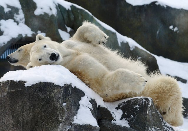 Two polar bears relax in the snow at Schoenbrunn zoo in Vienna December 30, 2014. (Photo by Heinz-Peter Bader/Reuters)