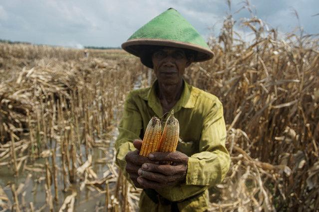 A farmer shows bad corn during harvest at Srigading village in Yogyakarta, Indonesia, October 20, 2016. (Photo by Hendra Nurdiyansyah/Reuters/Antara Foto)