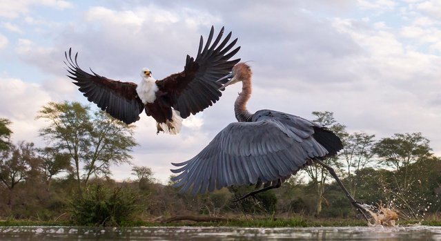 Dramatic pictures show the skirmish between an African fish eagle and the Goliath heron, which is the world's tallest species of heron, at Zimanga Game Reserve in South Africa. (Photo by Max Waugh/Solent News & Photo Agency)