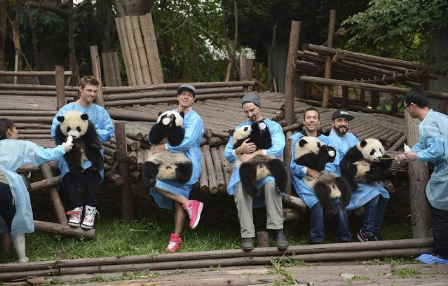The Backstreet Boys, from 2nd left to second right, Nick Carter, Brian Littrell, Kevin Richardson, Howie Dorough and A.J. McLean hold giant panda cubs at the Chengdu Research Base of Giant Panda Breeding in Chengdu, Sichuan province on May 30, 2013. (Photo by Reuters)