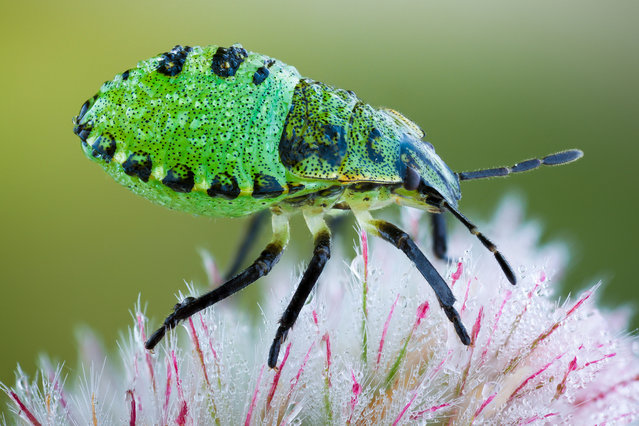 Green Shieldbug Nymph. Palomena prasina, Pentatomidae; Size: 6-7 mm. (John Hallmén)