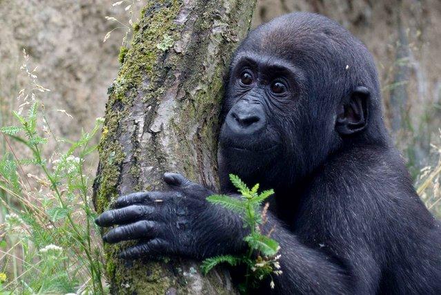 The baby gorilla in Stuttgarter zoologisch-botanische Garten, Germany, on July 5, 2013. (Photo by Marijan Murat/AFP Photo)