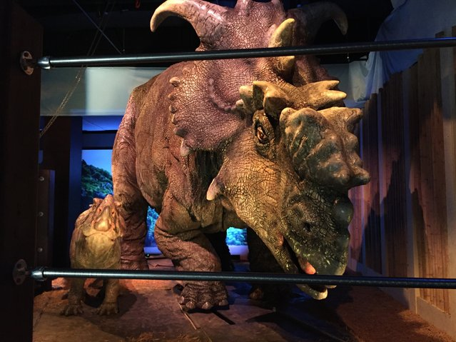 "This Wednesday, November 23, 2016 photo, shows a  pair of pachyrhinosaurus that move around as part of the ""Jurassic World"" exhibit opening Friday, Nov. 25, at the Franklin Institute in Philadelphia. (Photo by Josh Cornfield/AP Photo)"