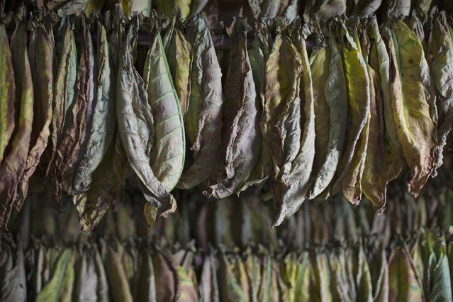 Tobacco leaves hang inside a curing barn at a farm in Cuba's western province of Pinar del Rio, February 16, 2015. (Photo by Alexandre Meneghini/Reuters)