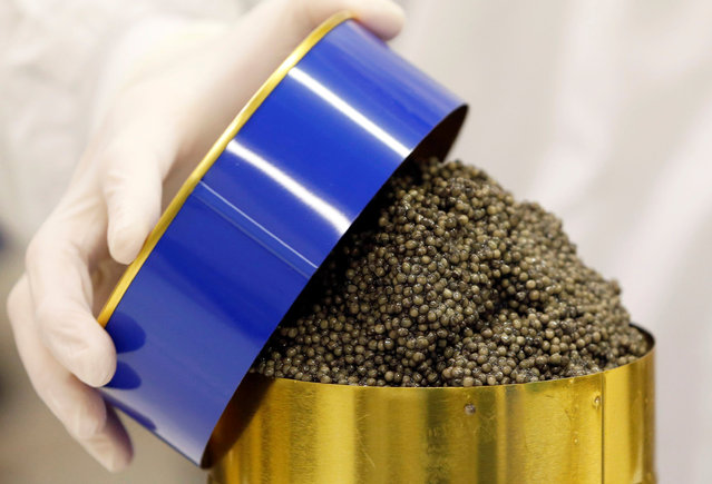 """A employee packages clean and processed caviar at the caviar fish farming company """"Sturgeon"""", the leading French producer, in Saint-Genis-de-Saintonge, France, November 8, 2016. (Photo by Regis Duvignau/Reuters)"""