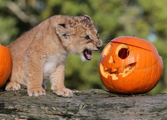 Karis, an 8 week old lion cub, growls at a pumpkin as she explores a Halloween treat put in her enclosure by staff at Blair Drummond Safari Park near Stirling, Scotland, Tuesday, October 29, 2013. (Photo by Andrew Milligan/AP Photo/PA Wire)