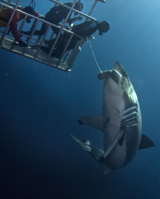 Daredevil divers teasing a great white shark. (Photo by Dmitry Vasyanovich/Caters News)