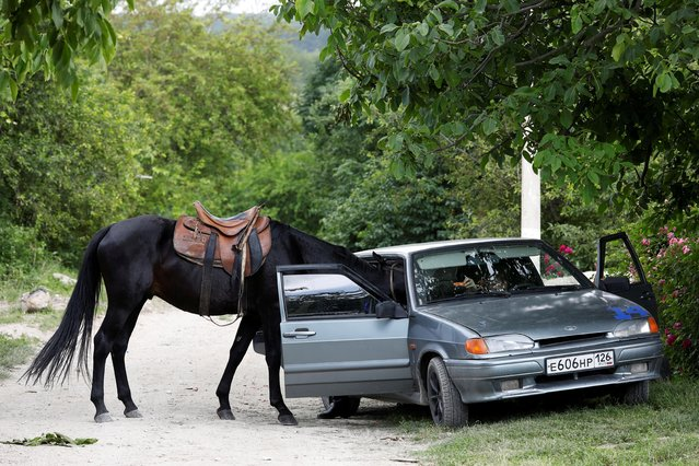 A horse puts its head into the car to eat a carrot near the Cossack cultural complex in the village of Borgustanskaya in Stavropol region, Russia on June 24, 2021. (Photo by Eduard Korniyenko/Reuters)