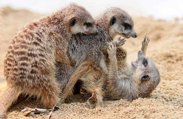 Two meerkat (Suricata suricatta) are fighting in Zoo in the wilhelma in Stuttgart, Germany, 11 January 2017. The meerkats, also called suricates, is a mammalian species from the mongoose family. They live in the dry regions of southern Africa. (Photo by Ronald Wittek/EPA)