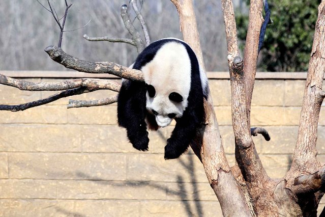 "This picture taken on January 1, 2014 shows giant panda ""Li Li"" sleeping on a tree in Hangzhou Wild Animal World in Hangzhou, east China's Zhejiang province. Giant pandas, notorious for their low s*x drive, are among the world's most endangered animals. Fewer than 1,600 pandas remain in the wild, mainly in China's Sichuan province, with a further 300 in captivity around the world. (Photo by AFP Photo)"