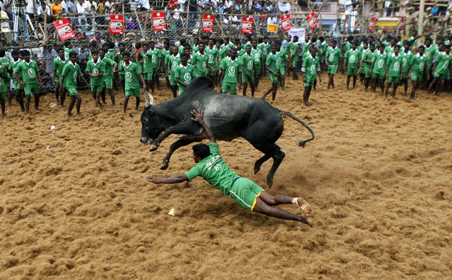 A participant falls while trying to tackle a bull during a bull-taming sport called Jallikattu in Palamedu, about 434 kilometers (269 miles) south of Chennai, India, Wednesday, January 15, 2014. (Photo by Arun Sankar K./AP Photo)