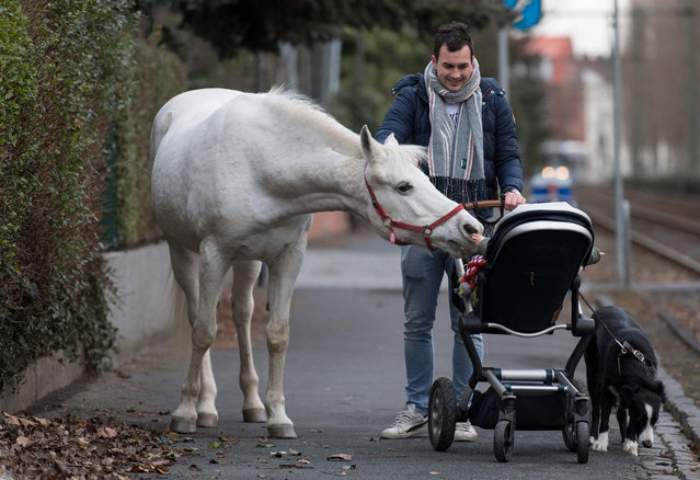 "The Arabian mare ""Jenny"" curiously sniffs at the child of Raphael Wöllstein, who is on his way to the train, on her daily walk through the Fechenheim district of Frankfurt, Germany on March 8, 2019. Her owner opens the stable door for the 22-year-old horse every morning. Then the animal can decide for itself where it wants to spend the day. So that nobody thinks she's escaped, a sign with the inscription ""My name is Jenny, didn't run away, just go for a walk"" is on the halter. (Photo by Boris Roessler/dpa)"
