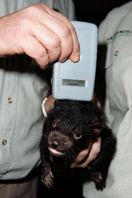 A Tasmanian Devil joey is seen receiving a scan at Taronga Zoo on October 22, 2009 in Sydney, Australia. Staff at Sydney's Taronga Zoo are conducting tests to determine the father of the four joeys in a bid to help the endangered species in the wild. (Photo by Brendon Thorne/Getty Images)