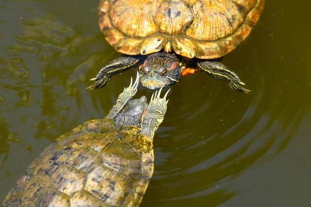 A pair of terrapins interact in a pond at the Botanical Garden in Singapore on October 8, 2021. (Photo by Roslan Rahman/AFP Photo)