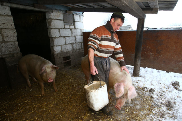 Vladimir Krivenchik, a hunter, feeds the pigs at his house in the village of Khrapkovo, Belarus February 1, 2017. (Photo by Vasily Fedosenko/Reuters)