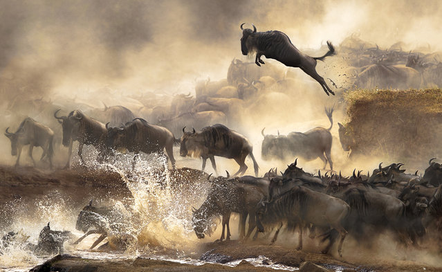 "According to the photographer: ""In July each year, this heart-pounding scene of wildebeests migration repeats itself in Kenya. It's nature's most dramatic moment!"" (Photo by Bonnie Cheung/2014 Sony World Photography Awards)"