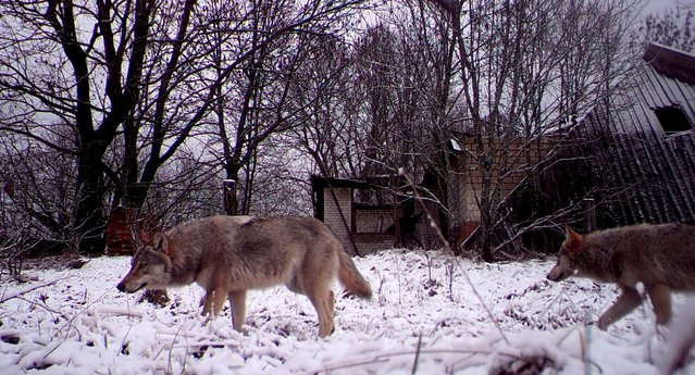 Wolves walk in the 30 km (19 miles) exclusion zone around the Chernobyl nuclear reactor in the abandoned village of Orevichi, Belarus, February 25, 2016. (Photo by Vasily Fedosenko/Reuters)
