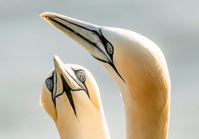 Gannets nest at the RSPB nature reserve at Bempton Cliffs in Yorkshire, England on July 3, 2019 as over 250,000 seabirds flock to the chalk cliffs to find a mate and raise their young. (Photo by Danny Lawson/PA Images via Getty Images)