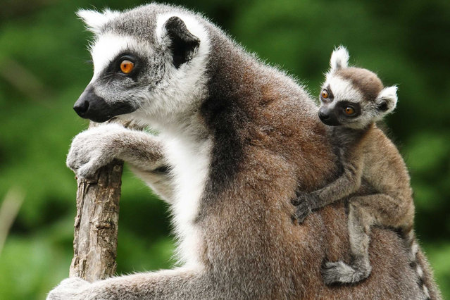 A Lemur catta, also known as ring-tailed lemur, with its three-week-old cub clinging to its back sits on a tree at the Schoenbrunn zoo in Vienna April 4, 2014. (Photo by Heinz-Peter Bader/Reuters)