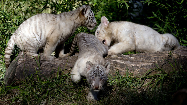 Three month old white Bengal tigers cubs play inside their enclosure at the Buenos Aires Zoo, Argentina, Wednesday, April 16, 2014. Cleo, a captive white Bengal tiger at the zoo, gave birth to the two females and one male cubs on Jan. 16, 2014. (Photo by Natacha Pisarenko/AP Photo)
