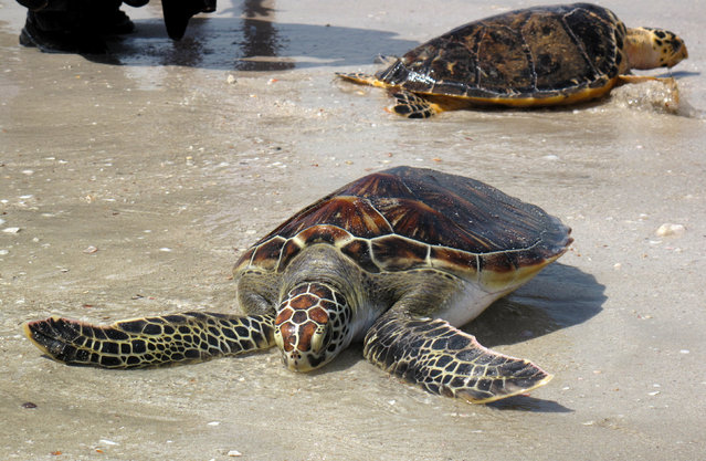 Two of five endangered Hawksbill turtles being released on a Sharjah beach after being nursed back to health by marine biologists at Sharjah Aquarium in the United Arab Emirates in celebration of World Turtle Day on May 23, 2016. (Photo by Arman Avdic/Reuters)