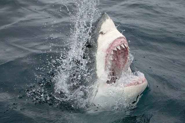 Great White Shark Emerging From the Water. (Photo by Stephen Frink)
