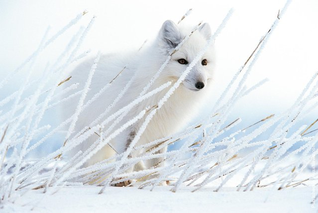 Arctic fox. The photo was taken near the town of Churchill, Canada. Fox listens to Piscu mice, who paved their tunnels under the snow. Upon occurrence of the Arctic winter Arctic fox changes color with brown to ashy, merging with the surrounding tundra snow