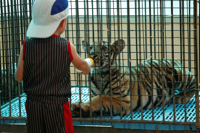 A boy feeds milk to a tiger cub at the Sriracha Tiger Zoo in the Chonburi province, Thailand June 7, 2016. (Photo by Chaiwat Subprasom/Reuters)