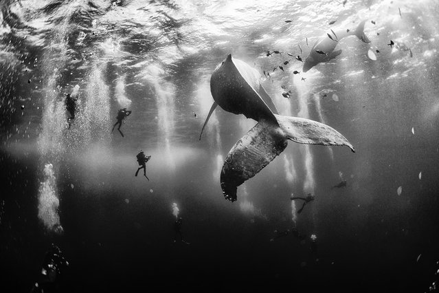 Grand Prize: Whale Whisperers. Diving with a humpback whale and her new born calf while they cruise around Roca Partida Island, in Revillagigedo, Mexico. This is an outstanding and unique place full of pelagic life so we need to accelerate the incorporation of this islands into UNESCO as natural heritage site in order to increase the protection of the islands against the prevailing ilegal fishing corporations and big game fishing. (Photo and caption by Anuar Patjane Floriuk/National Geographic Traveler Photo Contest)