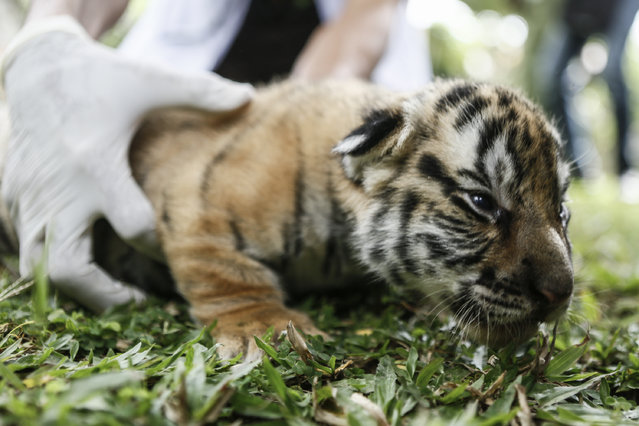 A new born Bengal tiger cub is seen at Bali Zoo on August 12, 2015 in Gianyar, Bali, Indonesia. (Photo by Putu Sayoga/Getty Images)