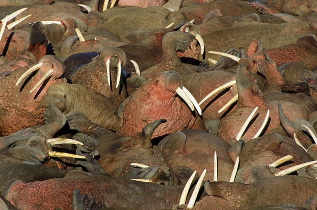 A huge colony of Pacific Walrus on Arakamchechen Island in the Northern Bering Sea. (Photo by Francois Gohier/Ardea/Caters News)