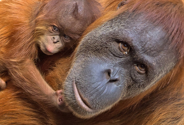 A baby orangutan relaxes near its mother Padana at the zoo in Leipzig, Germany, Tuesday, August 15, 2017. The baby orangutan, whose gender is not yet known, was born on Aug. 5, 2017. (Photo by Jens Meyer/AP Photo)