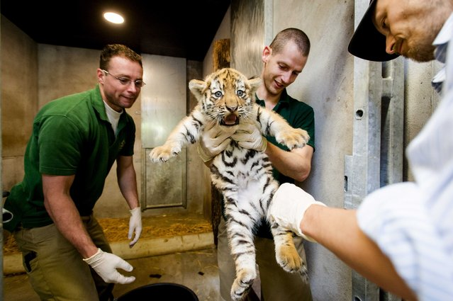 One of the newborn Siberian tiger triplet reacts during a final physical check and sexing at the Amersfoort Zoo in Amersfoort, The Netherlands, August 5, 2014. The tiger cub will be allowed to go outside for the first time in several days. (Photo by Robin Van Lonkhuijsen/EPA)