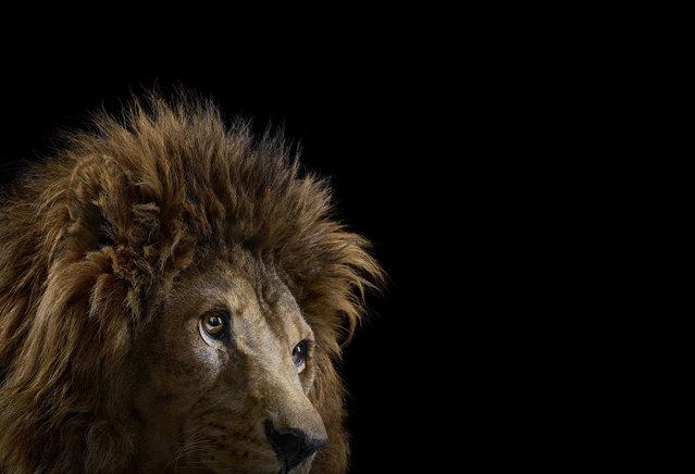 Lion. (Photo by Brad Wilson)