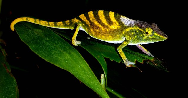 International conservation groups have issued a list of the earth's 100 most threatened animals, plants and fungi on September 11, 2012,  among them the Tarzan's chameleon, and say urgent action is needed to protect them. The groups identified the species, which live in 48 countries, in a report presented to a global conservation forum on the southern South Korean island of Jeju. (Photo by Frank Gaw/The Zoological Society of London)
