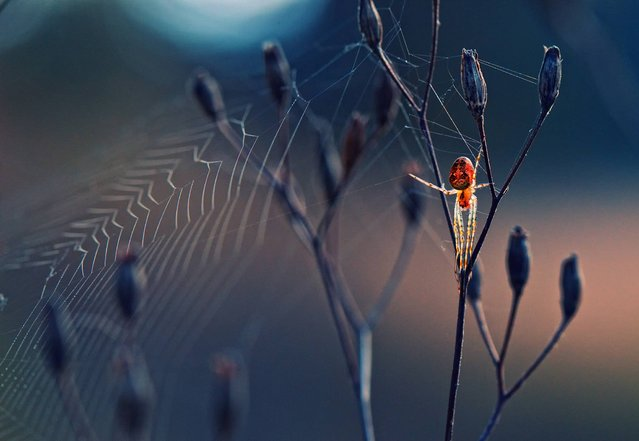 """Spider Like From Another World"". Bulgaria, Predel: Spider, like from another world by Krasimir Matarov. (Photo and caption by Krasimir Matarov/UK Society of Biology Photography Award 2014)"