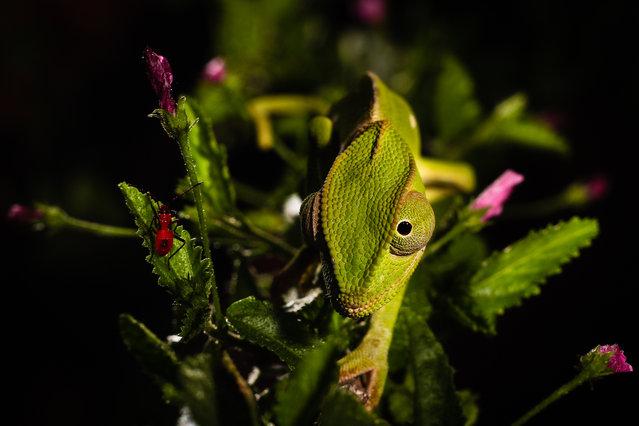 Overall student winner: Leejiah Dorward. Flap-necked chameleon in Tanzania. (Photo by Leejiah Dorward/University of Oxford/British Ecological Society)