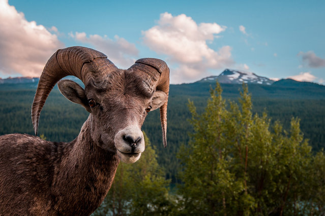 """Bold Ram: This rocky mountain big horn sheep ram was bold enough to allow me to approach him and snap this shot before he lost interest in me and rejoined his herd"". (Photo and comment by Scott Trageser/National Geographic Photo Contest via The Atlantic)"