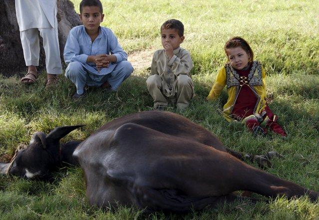 Children watch the sacrifice of a buffalo after Eid al-Adha prayers on the outskirts of Peshawar, Pakistan September 24, 2015. (Photo by Khuram Parvez/Reuters)