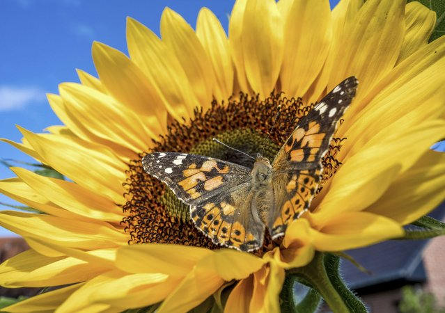 A Painted Lady butterfly (Vanessa cardui) sits on a sunflower on August 4, 2014 in  Godewaersvelde. (Photo by Philippe Huguen/AFP Photo)