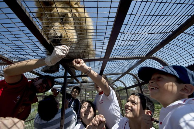 Children inside a cage watch at close quarters a lion at the Safari Lion Zoo in Rancagua, Chile, on October 30, 2014. the Safari Park Zoo is the only park in Latin America where tourists can see from a short distance six lions in a two-hectares open area. (Photo by Martin Bernetti/AFP Photo)