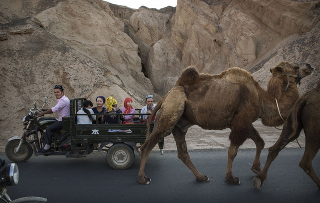 A Uyghur family ride passed a camel on a road during the Corban Festival on September 12, 2016 in Turpan County, in the far western Xinjiang province, China. The Corban festival, known to Muslims worldwide as Eid al-Adha or 'feast of the sacrifice', is celebrated by ethnic Uyghurs across Xinjiang, the far-western region of China bordering Central Asia that is home to roughly half of the country's 23 million Muslims. The festival, considered the most important of the year, involves religious rites and visits to the graves of relatives, as well as sharing meals with family. Although Islam is a 'recognized' religion in the constitution of officially atheist China, ethnic Uyghurs are subjected to restrictions on religious and cultural practices that are imposed by China's Communist Party. Ethnic tensions have fueled violence that Chinese authorities point to as justification for the restrictions. (Photo by Kevin Frayer/Getty Images)