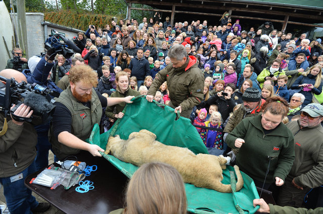 A dead male lion is carried to the table to be prepared for public dissection in front of children in Odense Zoo, Denmark, Thursday, October 15, 2015. This year the zoo has killed three of its lions, saying they had failed to find new homes for them despite numerous attempts. (Photo by Ole Frederiksen/Polfoto via AP Photo)