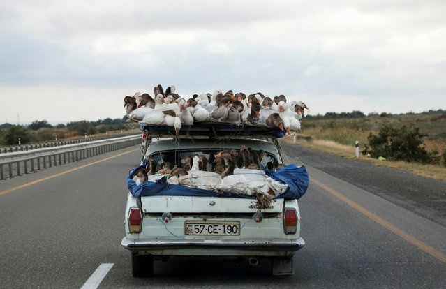 A man carries geese on top of his car as he drives on a highway that leads to the city of Ganja, Azerbaijan on October 21 2020. (Photo by Umit Bektas/Reuters)