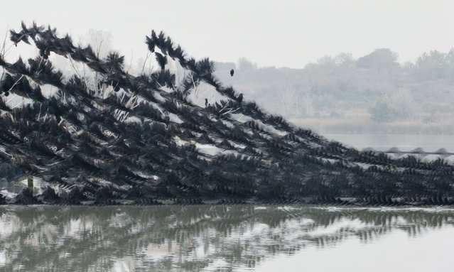 Great cormorants at Ibars swamp, Catalonia. (Photo by Xavi Bou/Rex Features/Shutterstock)