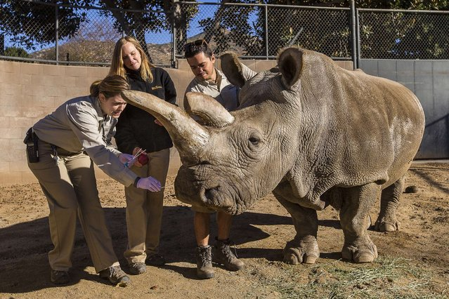 Associate veterinarian Meredith Clancy (L) collects mucus samples from Nola, a 40-year-old northern white rhino, as keepers Kim Millspaugh and Mike Veale(R) look on during a veterinary exam at the San Diego Zoo Safari Park in California, December 29, 2014. (Photo by Ken Bohn/Reuters/San Diego Zoo Safari Park)