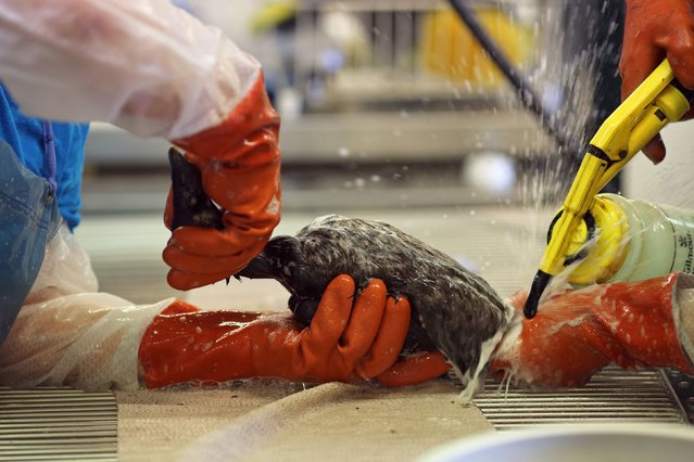 A bird is cleaned at the International Bird Rescue in Fairfield, California January 20, 2015. (Photo by Robert Galbraith/Reuters)