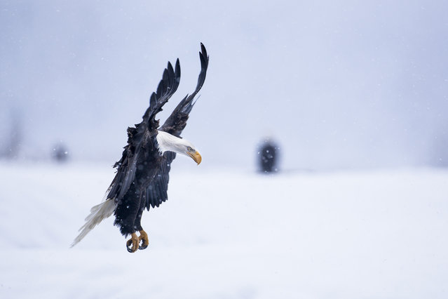 """""""Bald Eagle landing in snowstorm"""". In late fall every years thousands of bald eagles gather along the Chilkat River in Southeast Alaska for their last feast of the season. A late fall spawning run of 10-pound chum salmon attracts this largest known congregation of bald eagles. (Photo and caption by Nicolas Dory/National Geographic Traveler Photo Contest)"""